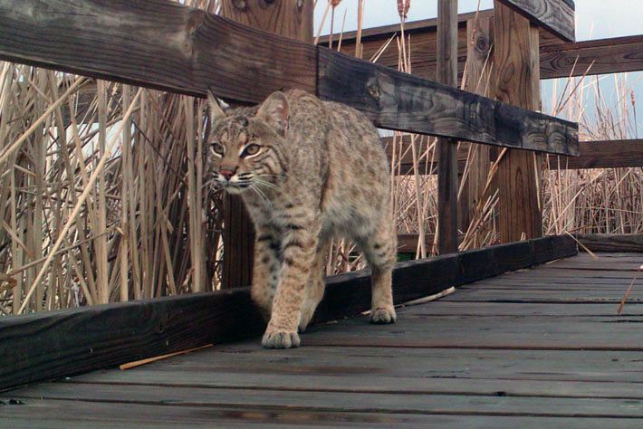 Bobcat on the Boardwalk